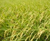 にいがた農園倶楽部の米づくりイメージ
