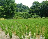 こだわりの農法で、懇切丁寧にお米を育てています。